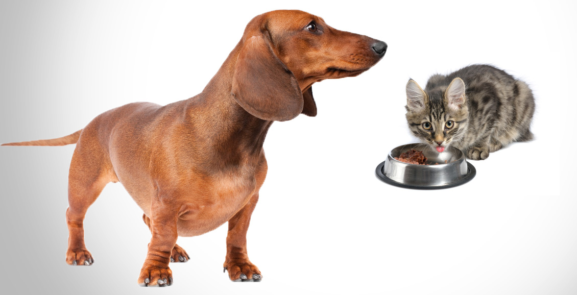 Cat stealing dog food